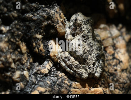 canyon tree frog camouflage on granite rock in Arizona creek - Stock Image