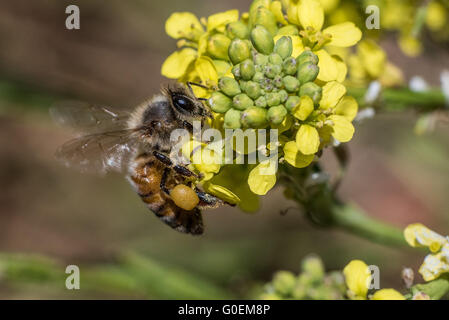 May 01, 2016: A bee sits on the blossom of a flower in Southern California John Green/CSM - Stock Image