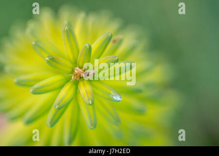 Aloe vera - Stock Image