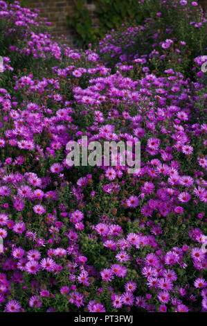 A Bed Of Purple Aster Flowers - Stock Image