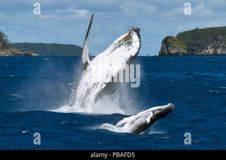 Humpback whale (Megaptera novaeangliae) female breaching together with her male calf. The calf had a large wound on his left peduncle area, one that appeared to be the result of a large bite, Vava'u, Tonga, South Pacific - Stock Image