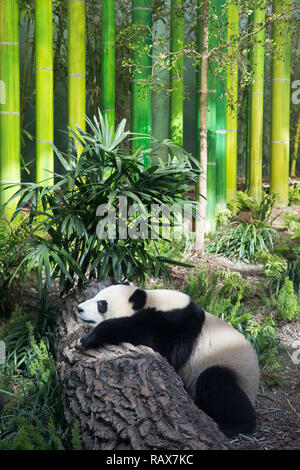 Giant panda sleeping on log (Ailuropoda melanoleuca) - Stock Image
