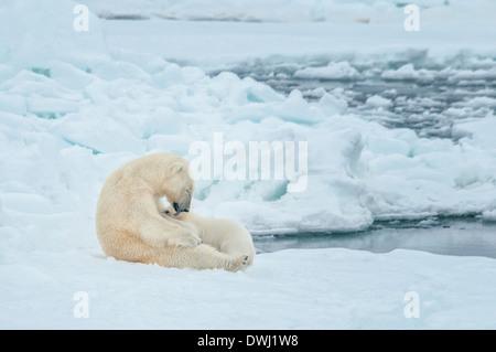 Polar Bear Mother, Ursus maritimus, Nursing and Licking Cub, Olgastretet Pack Ice, Spitsbergen, Svalbard Archipelago, Norway - Stock Image