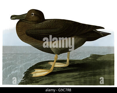 Light-mantled Albatross, Phœbetria palpebrata, birds, 1827 - 1838 - Stock Image