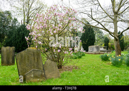 Magnolias and dafodiles in the graveyard at All Saints' Parish Church in Fulham, west London, UK - Stock Image