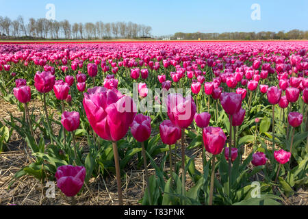 Lisse, Holland - April 18, 2019: Traditional Dutch tulip field with rows of pink flowers close up - Stock Image