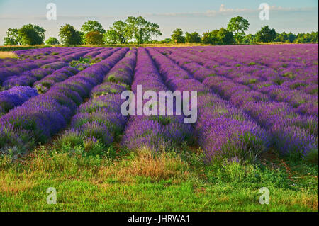 Lavender field in the Cotswolds, England, near the village of Snowshill, Gloucestershire - Stock Image