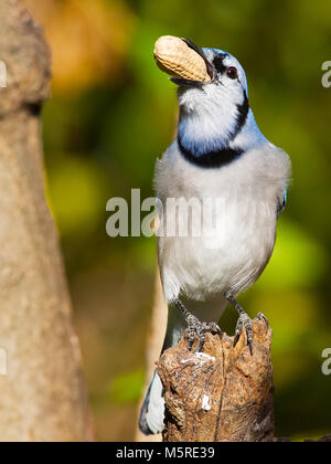 Blue Jay with Peanut - Stock Image