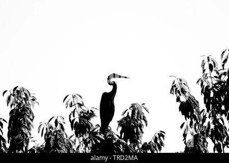 Silhouette of heron bird with curvilinear bent neck - Stock Image