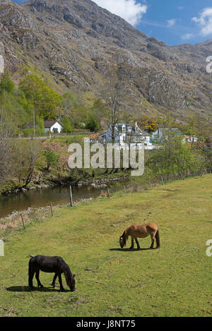Grazing ponies in the foothills of the 7 sisters of Kintail at Shielbridge, Highland Region North West Scotland. - Stock Image