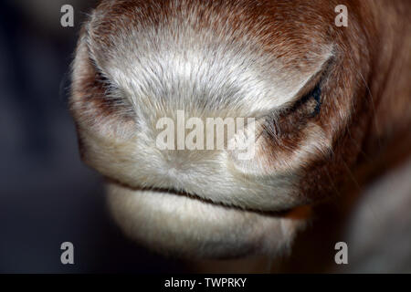 reindeer also called rangifer tarandus nose macro shot, caribou nose and mouth in norway at summer time - Stock Image