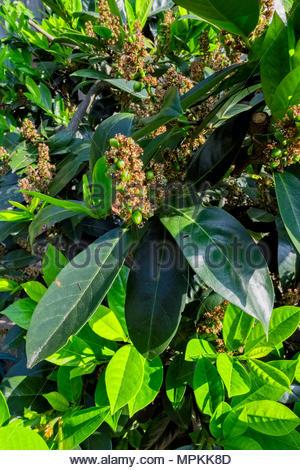 New growth in springtime on Kirschlorbeer, or cherry laurel, Prunus laurocerasus, with berries forming - Stock Image