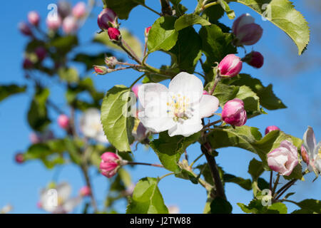 Apple blossoms - Stock Image