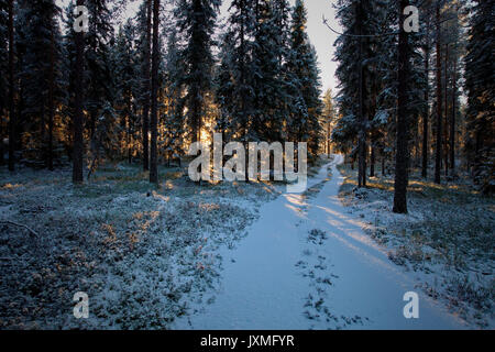 A forest track is leading through a snowy forest that is illuminated by the low winter sun. - Stock Image