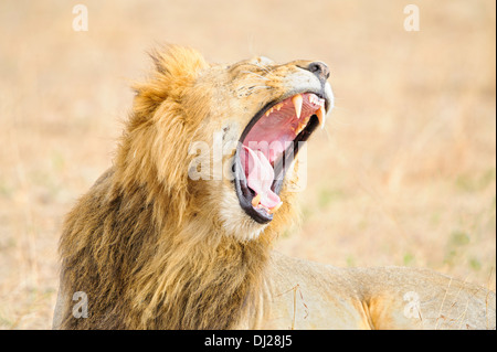 A full-maned lion yawning as he wakes from a nap in the Masai Mara in Kenya. - Stock Image