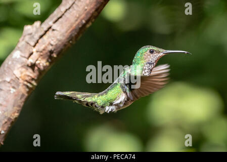 Hummingbird in flight, Mindo Cloud Forest, Ecuador - Stock Image