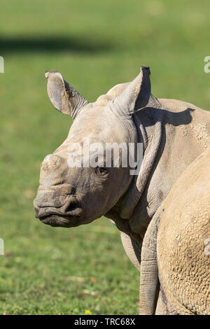 Detailed, close-up view of cute, baby white rhinoceros face (Ceratotherium simum). Isolated outdoors in the sunshine, rhino looks back over shoulder. - Stock Image