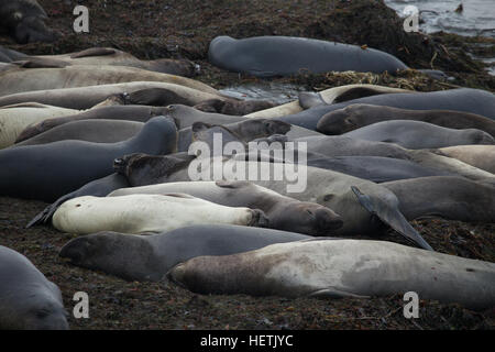Northern female Elephant seals waiting to give birth on the beach at  San Simeon California - Stock Image