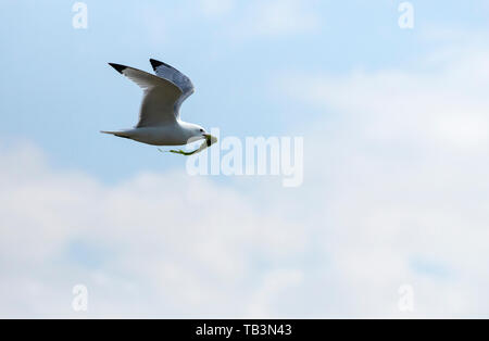 A Kittiwake carrying nesting material on the Farne Islands, Northumberland, UK. - Stock Image