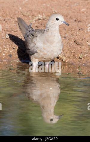 USA, Arizona, Amado. Mourning dove and reflection. Credit as: Wendy Kaveney / Jaynes Gallery / DanitaDelimont.com - Stock Image