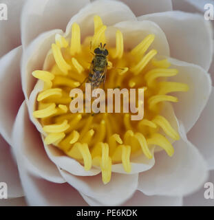 A small pollen covered hoverfly clambers out of a white waterlily (Nymphaea alba) ) after drinking the nectar at the base of the flower. Bedgebury For - Stock Image