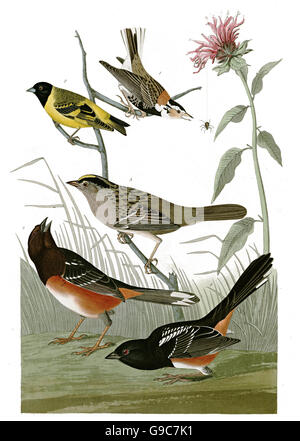 1 Rufous-sided Towhee, Pipilo erythrophthalmus, 2 Golden-crowned sparrow, Zonotrichia atricapilla, 3 Hooded Siskin, - Stock Image