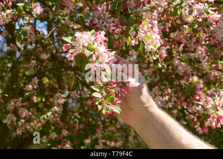 flowering branch of purple chokeberry in hairy male hand lit by the spring sun, branch of japanese crab or malus floribunda in male hand - Stock Image