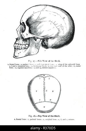Side and top view of a human Skull. A 19th Century illustration - Stock Image