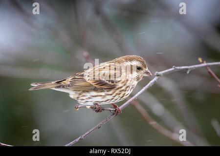 Female Purple Finch (Haemorhous purpureus), Algonquin Provincial Park, Ontario, Canada - Stock Image