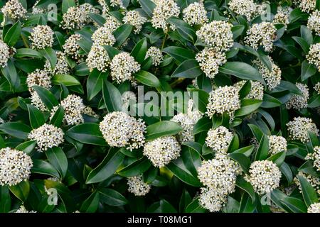 Skimmia x confusa Kew Green flower spikes - Stock Image