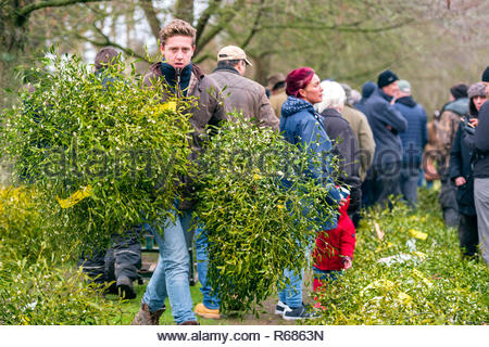 Tenbury Wells, Worcestershire, UK. 4th Dec 2018. Mistletoe for sale by auction. - Stock Image