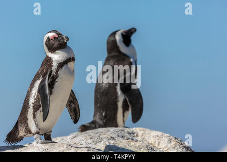 African penguin, Spheniscus demersus, standing on a rock looking in to the camera, at Simonstown, South Africa - Stock Image