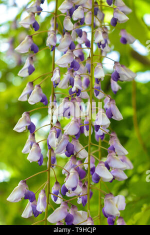 Wisteria Burford (Japanese) hanging flowers close up - Stock Image