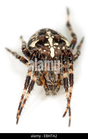 A Cross spider, or Garden Spider (Araneus diadematus) on white background. Cross spiders are part of the family - Stock Image