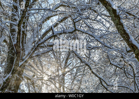 Snowy trees in winter - Stock Image