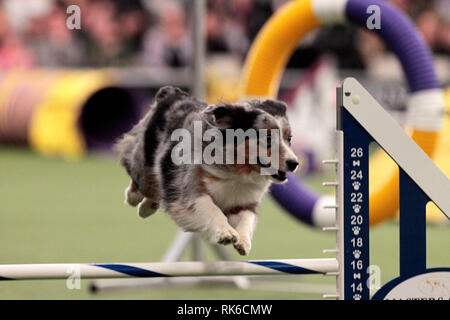 Westminster Dog Show - 9 February 2019, New York City:  Hula, A Miniature American Shepard, competing in the preliminaries of the Westminster Kennel Club's Master's Agility Championship. - Stock Image