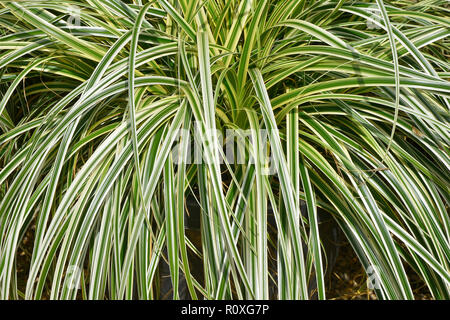 Growing in a container ready for planting in borders and for edging Carex oshimensis 'Feather Falls' - Stock Image