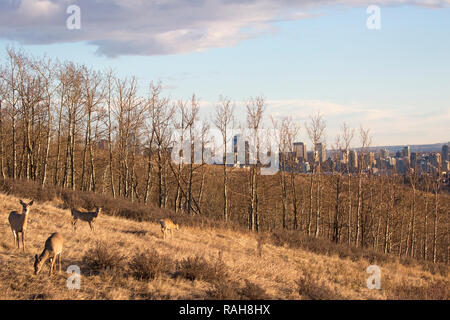 White-tailed Deer (Odocoileus virginianus) herd grazing on grassland slope overlooking downtown Calgary - Stock Image