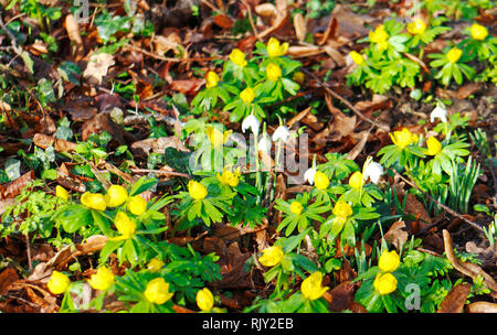 Winter Aconites, Eranthis hyemalis, and Snowdrops, Galanthus nivalis, in an English country churchyard at Shelton, Norfolk, England, UK Europe. - Stock Image