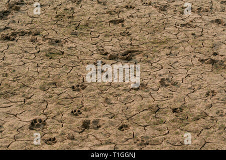 Footprints, animal tracks, in dry cracked ground floor, Misiones Department, Paraguay - Stock Image
