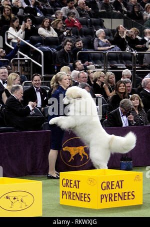 New York, USA. 12th Feb 2019. Westminster Dog Show - New York City, 12 February, 2019:  GCHG CH RIVERGROVES THE NAME OF THE GAME, A Great Pyrenees expresses his enthusiasm while awaiting judging in the Working Group competition at the 143rd Annual Westminster Dog Show, Tuesday evening at Madison Square Garden in New York City. Credit: Adam Stoltman/Alamy Live News - Stock Image