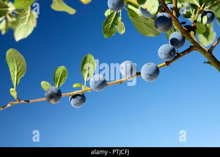 Prunus Spinosa Blackthorn Sloe Berries on a branch UK - Stock Image
