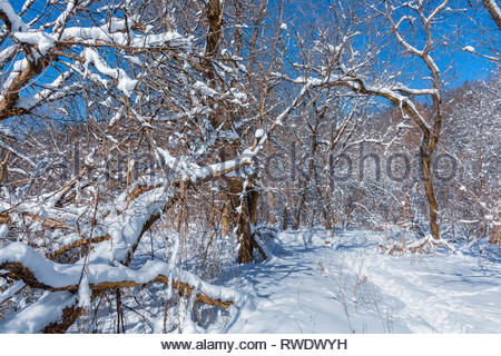 Fresh snowfall on forest trees in winter in Rouge National Urban Park an urban wilderness in Toronto Ontario Canada. - Stock Image