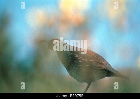 one legged California quail standing in profile in brush - Stock Image