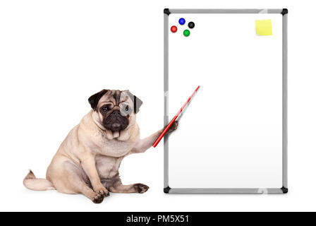 serious pug puppy dog sitting down, pointing at blank empty white board with yellow notes and magnets, isolated on white background - Stock Image