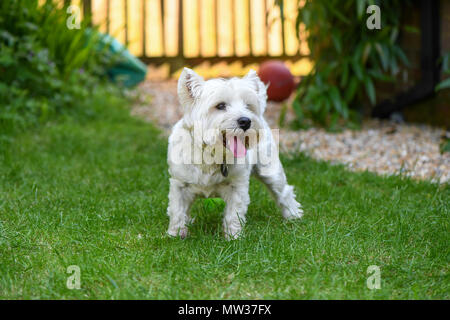 West Highland terrier happy in the garden with tongue out. - Stock Image