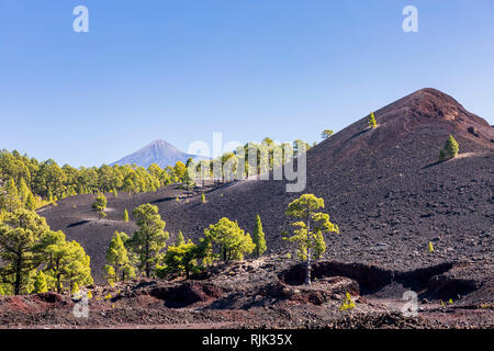 Pinus canariensis, canarian pine trees growing in the volcanic soil at Chinyero in the Las Canadas del Teide national park, Tenerife, Canary Islands,  - Stock Image