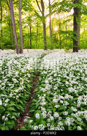 Sun, Forest, Bears Garlic, Wildflower, Trail, Spring, Leipzig, Germany - Stock Image