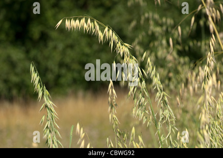 Oat (Pyrus communis), panicles. - Stock Image