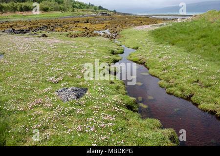 Sea Pinks / Thrift (Armeria maritima) flowers flowering by tide pools on saltmarsh at low tide in June. Isle of Mull Hebrides Western Isles Scotland - Stock Image